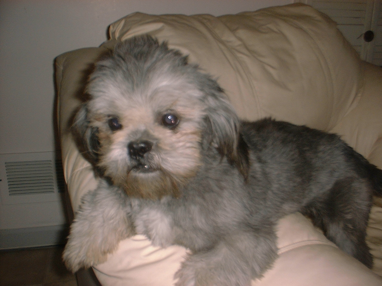 Shih Tzu puppy dog breeder for sale